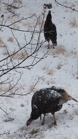 turkeys-in-the-snow